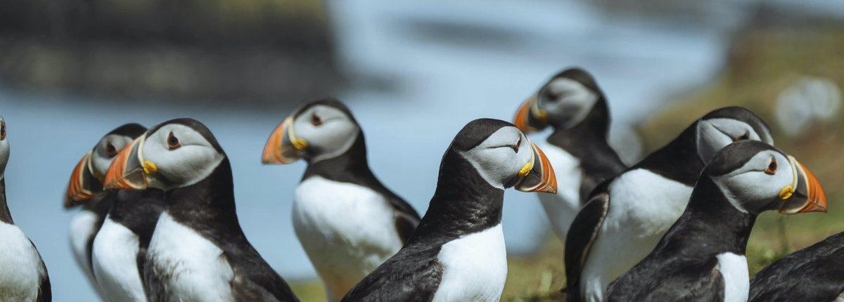 Flock of Atlantic puffins on the Treshnish Isles